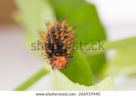 Caterpillar of great eggfly butterfly on leaf - stock photo