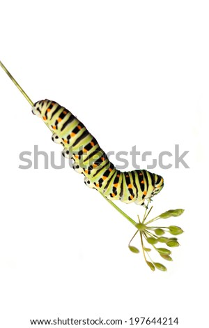 Caterpillar of swallowtail  on white background  - stock photo