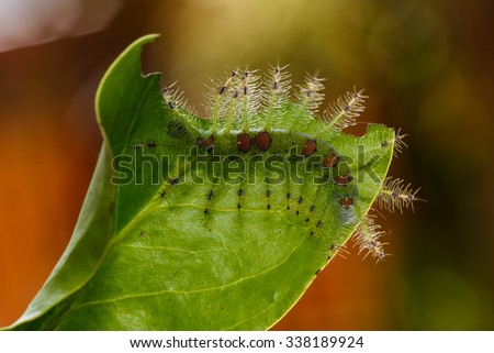 Caterpillar of the Commom Gaudy Baron butterfly ( Euthalia lubentina ) walking on twig - stock photo
