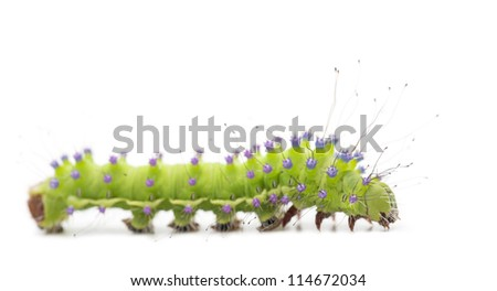 Caterpillar of the Giant Peacock Moth, Saturnia pyri, against white background - stock photo