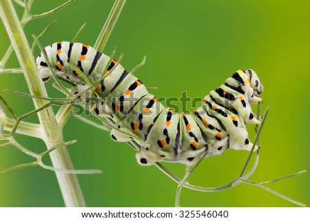 Caterpillar of the Maltese Swallowtail Butterfly eating fennel leaves, 10 days after hatching. It is now about 40 mm long and nearing its final days as a caterpillar.  - stock photo