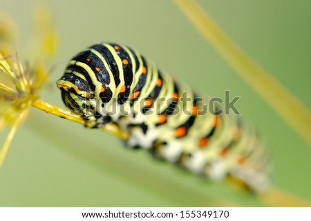 Caterpillar of the Old World Swallowtail (Papilio machaon), a butterfly of the family Papilionidae. The butterfly is also known as the common yellow swallowtail or simply the swallowtail.