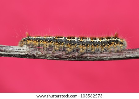 caterpillar on a branch against a red background