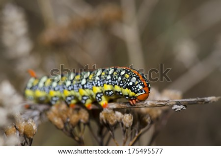 Caterpillar resting on dry branch of grass
