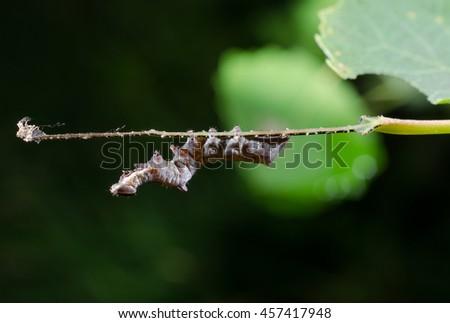 caterpillar upside down (closer) - stock photo