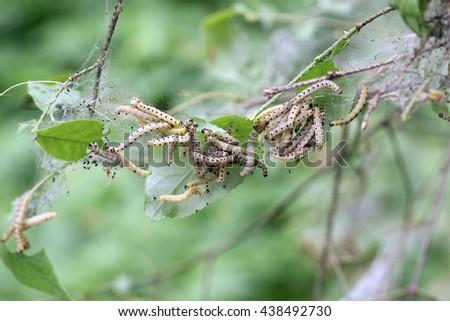 caterpillars codling moth - stock photo