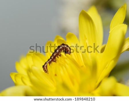 Caterpillars eat Yellow flowers