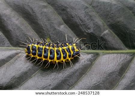 Caterpillars on leaves  - stock photo