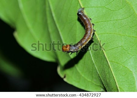 Caterpillars pupate