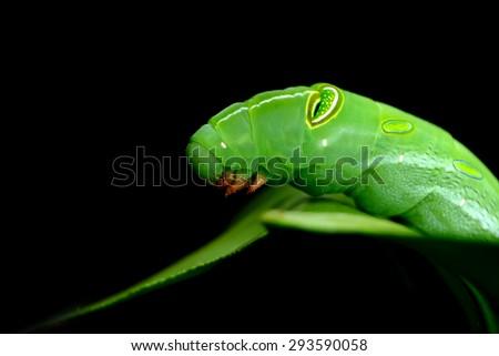 Black Swallowtail Caterpillar | Un jardín de rocas redondas
