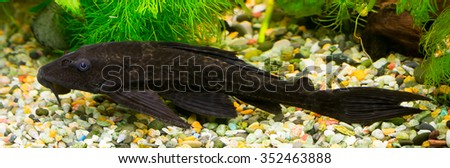 Catfish. Aquarium fish - Glyptoperichthys gibbiceps - stock photo