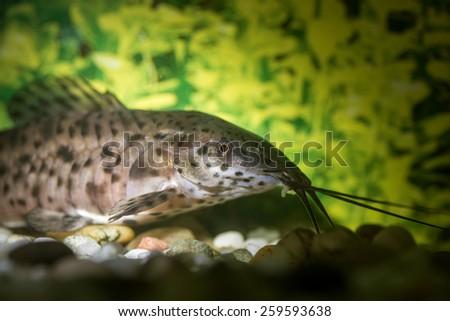 Catfish in a aquarium. Selective focus on fish eye. - stock photo