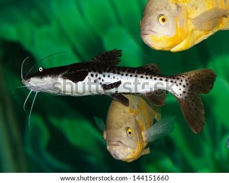 catfish in the aquarium - stock photo
