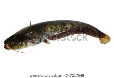 Catfish. Isolated on white. - stock photo