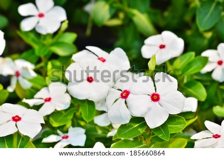 Catharanthus roseus blooming in the garden