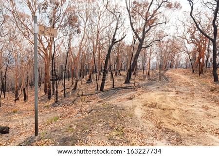 Catherine Hill Bushfire 2013 burnt trees - stock photo