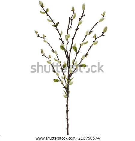 Catkins willowtree isolated on white background stock photo