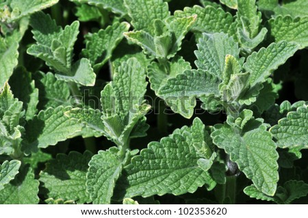 Catmint Nepeta Faassenii 'Six Hills Giant' Horizontal - stock photo