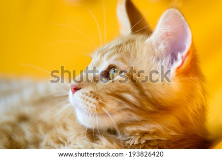 Cats and dogs: red-white tabby Maine Coon cat, close-up portrait, selective focus, natural yellow blurred background - stock photo