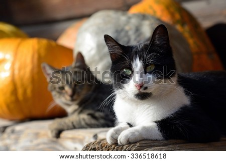 cats and pumpkins  - stock photo