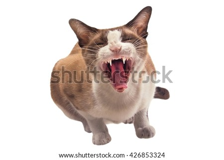 Cats are yawning on white background. - stock photo