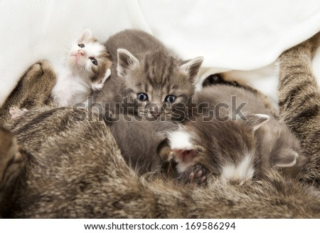cats babies suckled, A heap of cat is cuddly babies on their mother