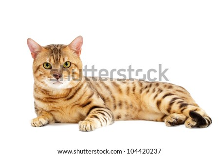 Cats, Bengal breed. Isolated on white background.