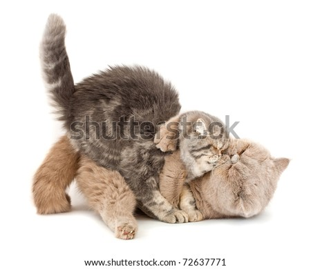 Cats kissing  each other's arms on a white background. - stock photo