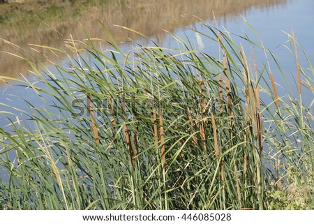 Cattail on the bay area trail, California - stock photo