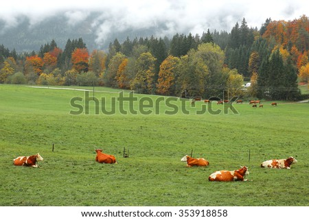 Cattle and green meadow by the autumn forest in Bavarian countryside ~ Beautiful fall landscape of an alpine ranch in Ramsau Bavaria, Germany - stock photo