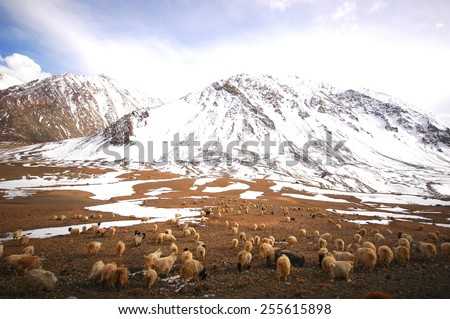 cattle and snow mountain of Himalaya range in the north of India - stock photo
