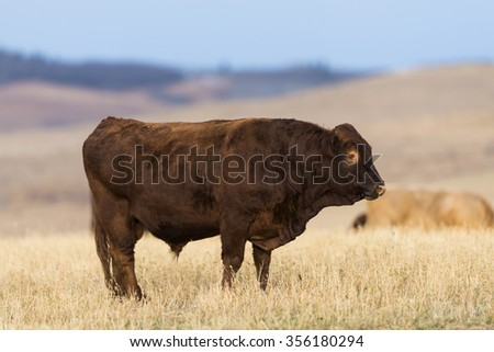 Cattle at pasture in the foothills of Alberta Canada - stock photo
