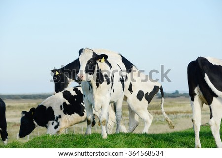 Cattle  at the meadow