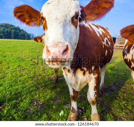 cattle at the meadow in detail - stock photo