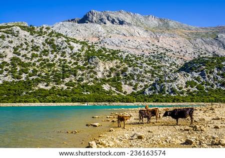 Cattle beside Cuber Reservoir - stock photo