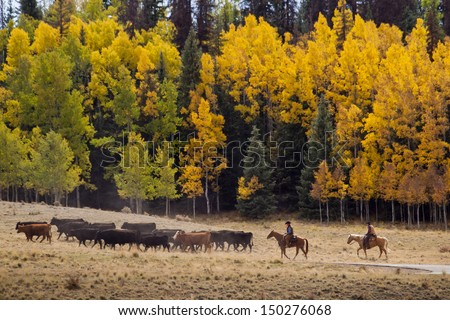 Cattle drive by two cowboys in Colorado. - stock photo