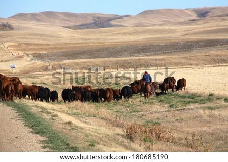 Cattle drive in scenic Saskatchewan - stock photo