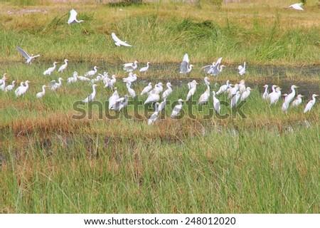 Cattle Egret - African Wild Bird Background - Pristine Colors within Nature - stock photo
