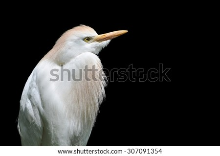 Cattle Egret (Bubulcus ibis) on a black background - stock photo