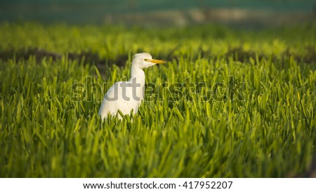 Cattle egret in the farmland - Bahrain