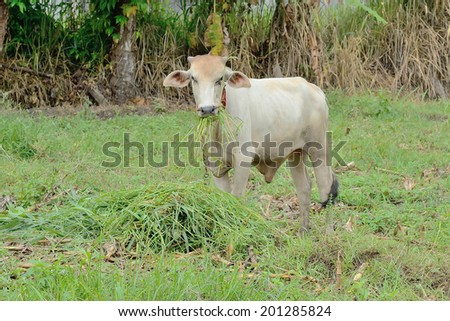 Cattle feeding  - stock photo