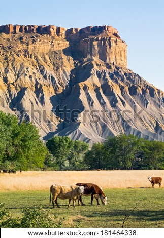 Cattle graze in the shale Utah badlands at Canieville Mesa near Capitol Reef National Park. - stock photo