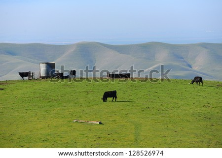 Cattle graze on a California ranch in the foothills of the Southern Sierra Nevada Range - stock photo