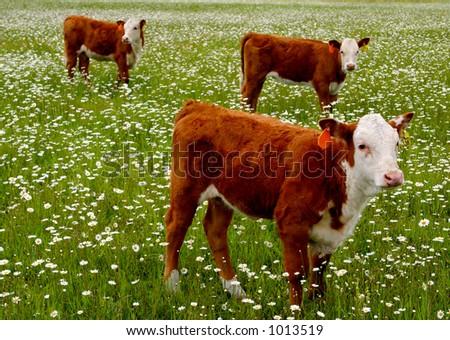 Cattle Grazing - stock photo