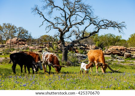 Cattle grazing in a bluebonnet field on a ranch in the Texas Hill Country.
