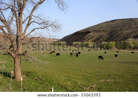 Cattle Grazing in a field on the Shivwits Paiute Indian Reservation - stock photo