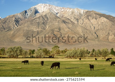 cattle grazing in a green field below Mount Tom in Round Valley California - stock photo