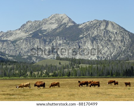 cattle grazing  near ketchum,  idaho - stock photo