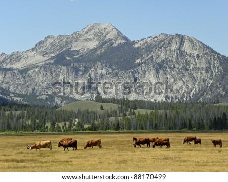 cattle grazing  near ketchum,  idaho - stock photo