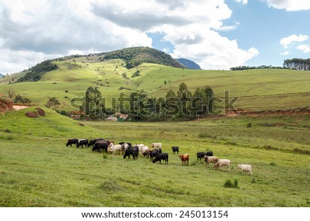 Cattle grazing on a green field at Minas Gerias, Brazil. - stock photo